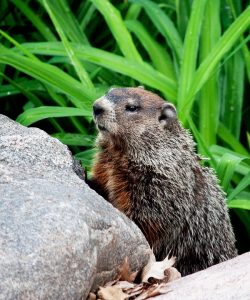 cute groundhog